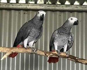 2015 African Grey Parrots unrelated pair Dubbo Dubbo Area Preview