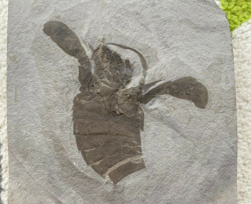4 inch Silurian eurypterid from bertie formation, new york - eurypterus remipes