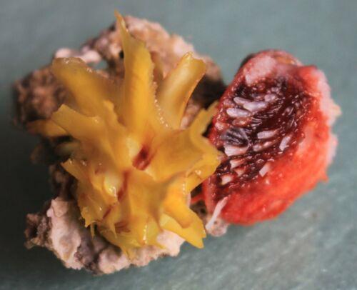 Sea shells chama lazarus limbula   rare color 35mm caught in BoholSept 295 2021