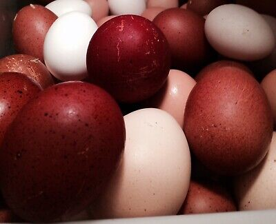 10 French Black Copper Marans Hatching Eggs