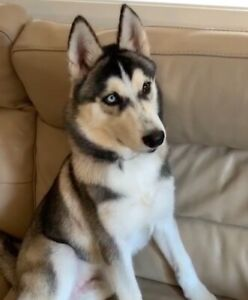 Husky for sale | Dogs & Puppies | Gumtree Australia