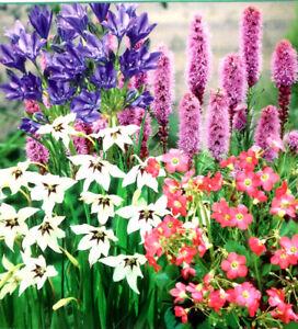 garden bulbs. 50 MIXED GARDEN SUMMER FLOWER PERENNIAL BUMPER PACK BULBS CORMS BEAUTIFUL PLANT Garden Bulbs