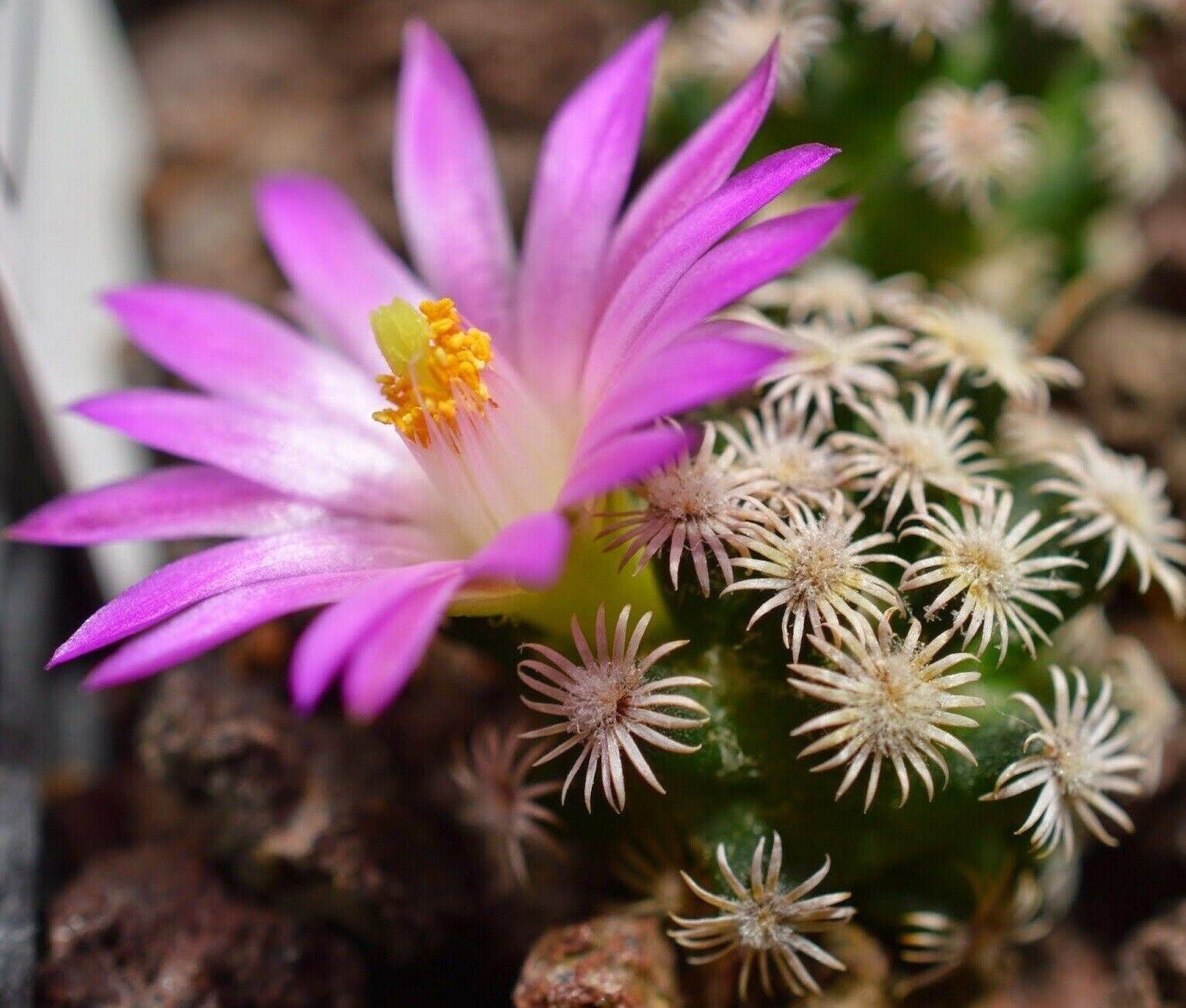 цветок маммиллярия картинка полагают, что