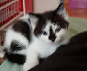 3 male kittens Elizabeth North Playford Area Preview