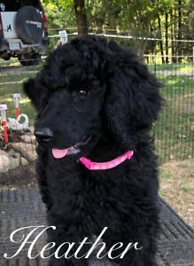 Standard Poodle | Adopt Dogs & Puppies Locally in Ontario