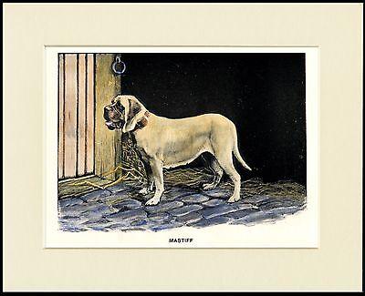 MASTIFF LOVELY DOG ART PRINT MOUNTED READY TO FRAME