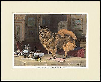 POMERANIAN SPITZ LITTLE DOG ON TABLE LOVELY PRINT MOUNTED READY TO FRAME
