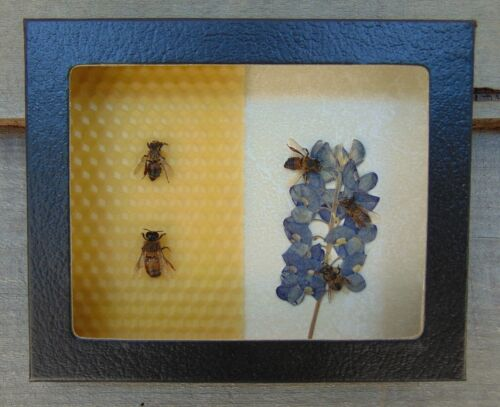 E302) Real Honey Bee 4X5 Framed Taxidermy Display insect pollinator worker drone