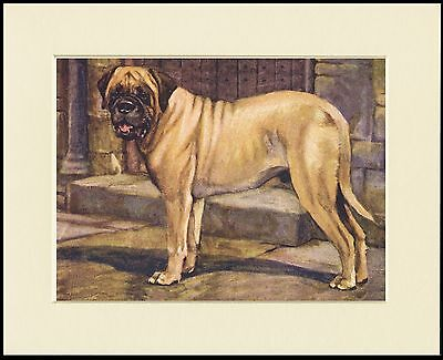 MASTIFF STANDING DOG LOVELY PRINT MOUNTED READY TO FRAME