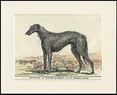 SCOTTISH DEERHOUND OLD STYLE NAMED CHAMPION DOG PRINT MOUNTED READY TO FRAME