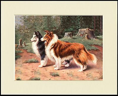 SHETLAND SHEEPDOG SHELTIE TWO DOGS LOVELY DOG PRINT MOUNTED READY TO FRAME