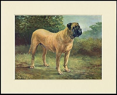 MASTIFF STANDING DOG GREAT DOG PRINT MOUNTED READY TO FRAME