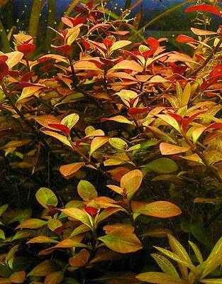 Bunched Ludwigia Repens Live Aquarium Plants Anacharis Java Moss Moneywort