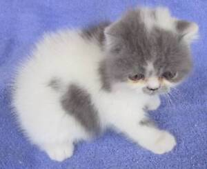 EXOTIC AND PERSIAN KITTEN