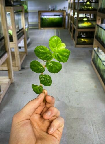 Pellionia argentea - Dart Frog VIVARIUM / TERRARIUM Plant - Stem Cutting