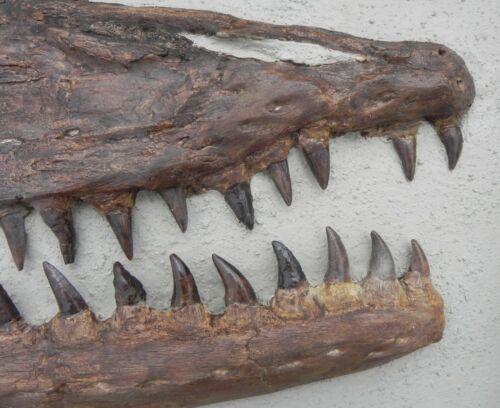 Kansas Platecarpus ictericus Mosasaur Skull late Cretaceous Period Dinosaur Era