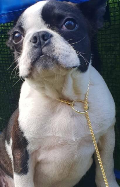 Female main register boston | Dogs & Puppies | Gumtree Australia