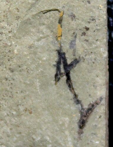 Cooksonia - Two oldest Silurian first fossils land plants. Very nice specimen