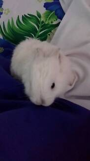 Baby Rabbit for sale (White)