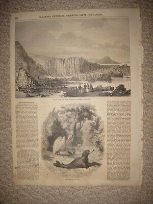 Antique 1854 Giants Causeway Ireland   Seal Natural History Animal Print Rare Nr