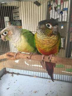 Pair of hand raised green cheek yellow sided conures with cage