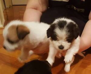 1 Male Puppy - Maltese x Jack Russell Cranbourne Casey Area Preview