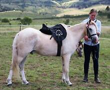 Very Quiet Palomino Pony. Laidley Lockyer Valley Preview
