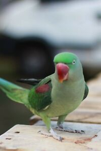 LOST  alexandrine parrot. Lost bird Golden Bay Rockingham Area Preview