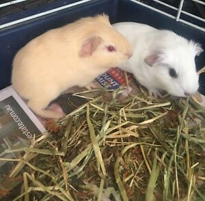 Baby guinea pigs ready soon Cambridge Gardens Penrith Area Preview