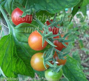 TEXAS-WILD-CHERRY-Tomate-salvaje-Tomates-Tomates-10-Semillas