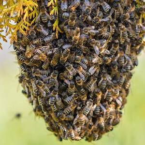 BEE SWARM REMOVAL Strathalbyn Alexandrina Area Preview