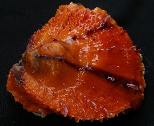 edspalshells - spondylus varians   70.9mm  F+++,awesome  color sea shell,