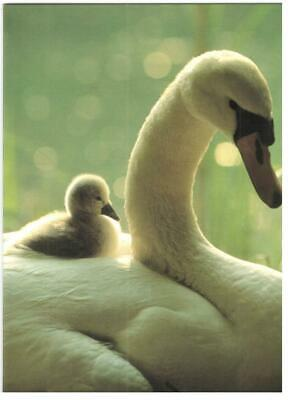 Easter Verses For Cards (Blank Verse Card For All.Swan & Cygnet For Birthday,Get Well, Thanks,)