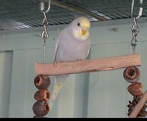Beautiful baby budgies Mindarie Wanneroo Area Preview