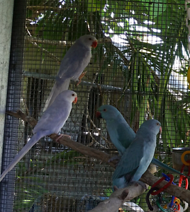 Indian Ringneck Parrots Burpengary Caboolture Area Preview