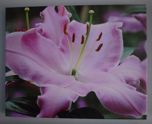 Lavender Amaryllis