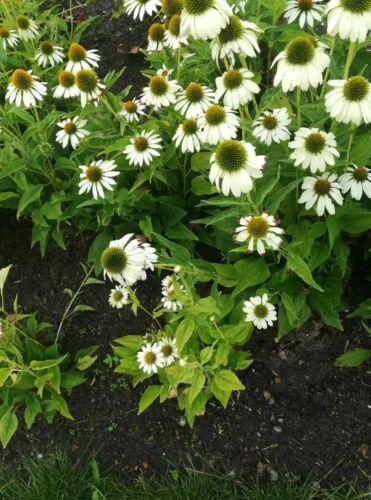 100 Samen Sonnenhut in weiß ......Echinacea