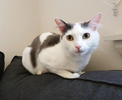 """Rescue Cat """"Princess Charlotte"""" is looking for her forever home"""