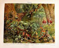 1902 Originale Cromolitografia = Arazeen O Philodendron, Pianta Tropicale= Etna -  - ebay.it
