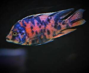 20%  Off Sale Ob Peacock Display Males African Cichlids