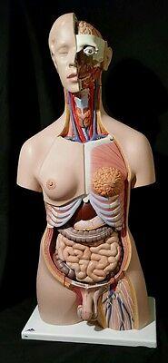 3b Scientific Deluxe Dual Sex Torso 24-part Anatomical Model Anatomy B30 Am