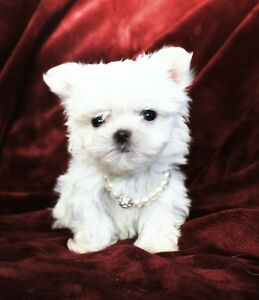 Teeny Tiny Teacup Puppy, Maltese X,  Micro Mini Puppies