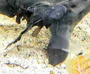 Longfin female bristlenose catfish Terrigal Gosford Area Preview