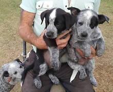 AUSTRALIAN CATTLE DOGS (BLUE HEELERS) FOR SALE. Red Cliffs Mildura City Preview