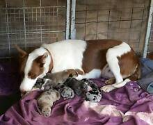 CATAHOLLIES !!!   Catahoula Collie Pups - Ready 4TH JUNE 2016 Hampton Toowoomba Surrounds Preview