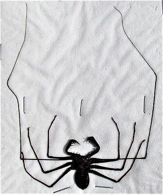 Large Javan Whip Spider Acanthophrynus coronatus Spread FAST FROM - Large Spider