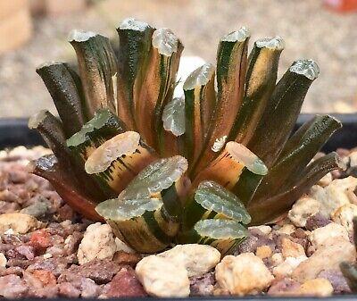 Haworthia Truncata Variegated plant. 7 heads. Not Maughanii variegated.