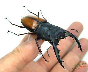 stag beetle Prosopocoilus umhangi SET x1 PAIR A1 lucanidae Tanzania art 76-79mm