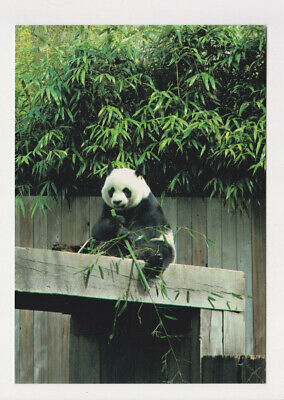 Ling Ling the female giant Panda Bear in the National Zoo Washington DC Postcard