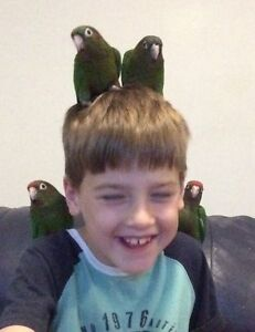 HAND RAISED ROSE CROWNED CONURE BABIES Toukley Wyong Area Preview